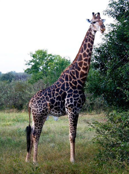 Wildlife Giraffe3